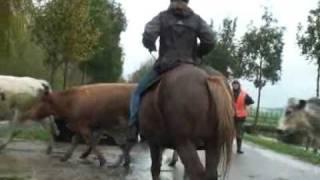 Cowgirls helpen Stoere Boer in Wijdewormer
