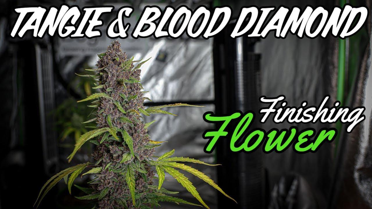 Finishing Flower (WEEKS 10 & 11 - Tangie & Blood Diamond)