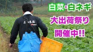白菜収穫と出荷調整と白ネギ出荷調整作業19/10/2#793