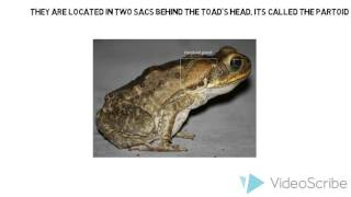 The impact of cane toads