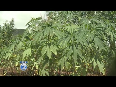Researchers harvest first crop from industrial hemp field study