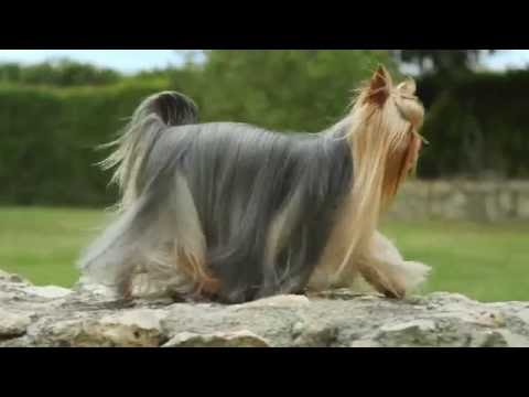 Royal Canin Yorkshire Terrier Wet