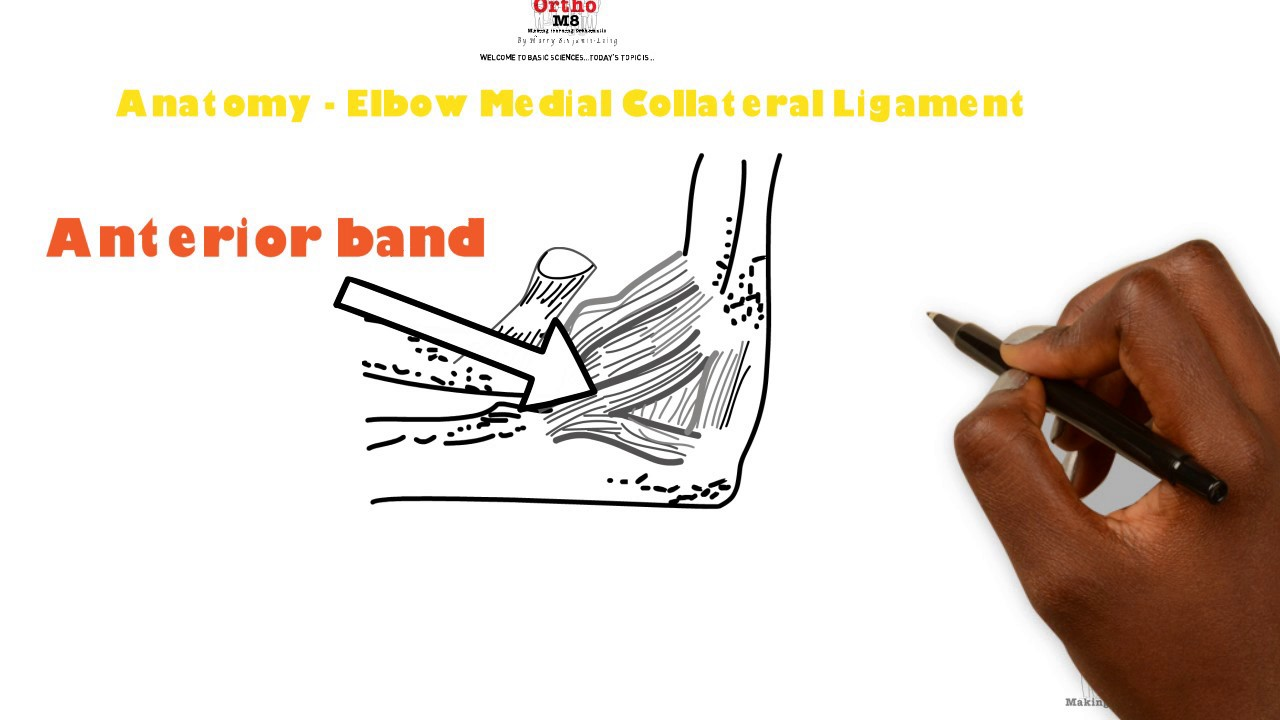 Basic Sciences - Anatomy of the Elbow Medial Collateral Ligament ...
