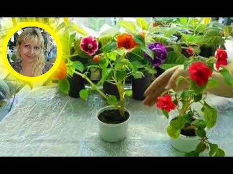 🌴Бальзамины Уоллера , выращивание и уход 🌱