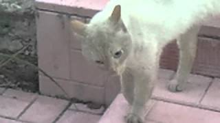 Коты деревенские