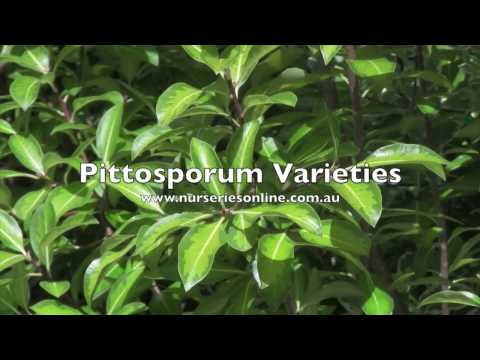 Pittosporum Hedging Plant Varieties