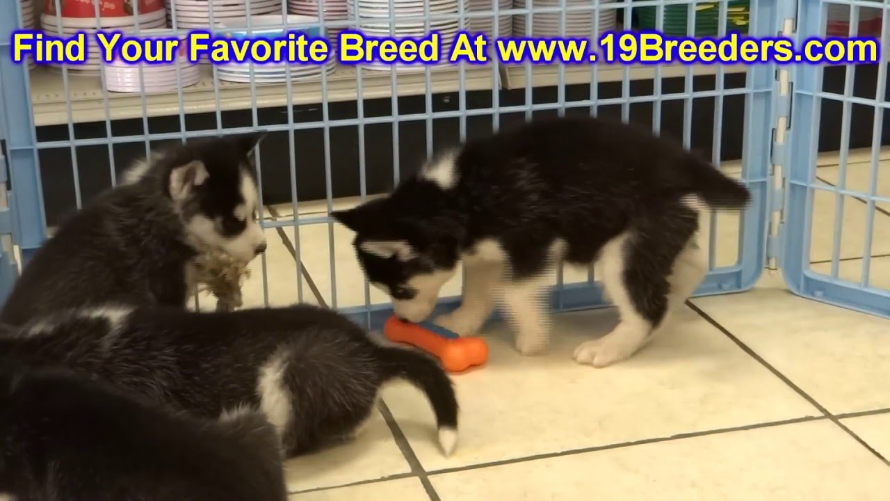 Siberian Husky Puppies Dogs For Sale In Columbia South Carolina