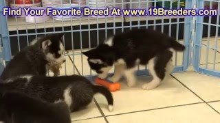 Siberian Husky, Puppies, For, Sale, In, Salt Lake City, Utah, Ut, Tooele, Kearns, Cottonwood Heights