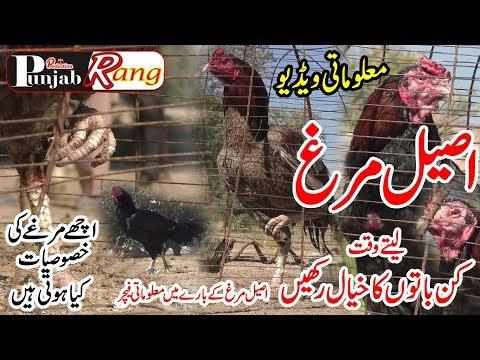 Documentary Flim / Aseel Murg /pure Aseel Murga Ke Pahchan /punjabi Calture Pakistan