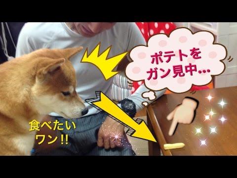 Shiba Inu Hime Riki !     よだれがタラ~リ!!