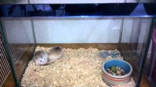 Hamster robo xxx