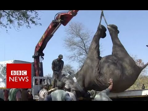 Relocating 500 Elephants in Malawi- BBC News