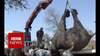 Relocating 500 Elephants in Malawi  BBC News