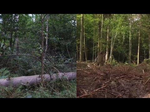 Puszcza Białowieska przed i po wycince. Ogromne różnice!