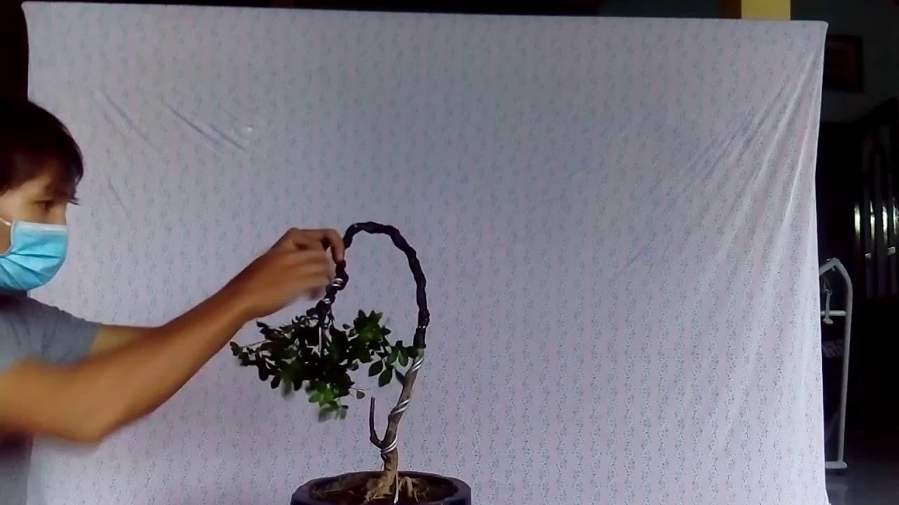 Cách uốn thế văn nhân cho cây  nguyệt quế . how to bend the tree
