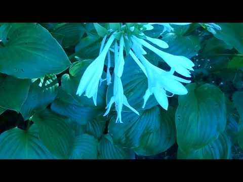 Хоста-королева тенистого сада.Цветение хосты.