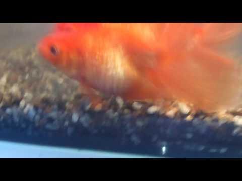 Вопрос: Как определить, беременна ли золотая рыбка?