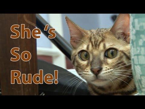 Bengal kitten cat behaviour series. Pt 4 - Meeting another Bengal!