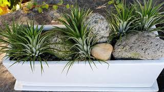 틸란드시아이오난사 | 실내공기정화식물 | 먼지제거식물 …