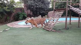 tiger will say sorry
