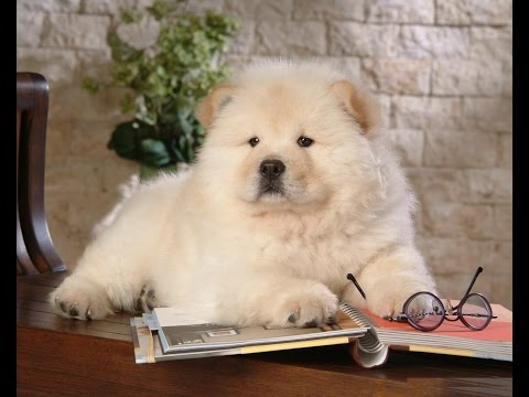 Chow Chow Cutest - Pet Lovers United States
