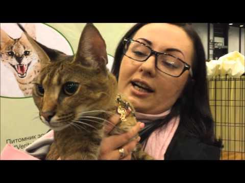 #7. Каракет (Caracat). Самая редкая кошка в мире! Всего 12 котят.