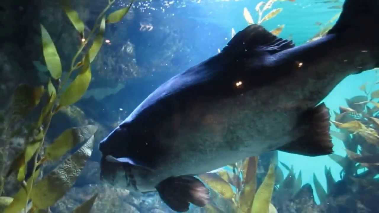 Giant Sea Bass Steinhart Aquarium California Academy Of