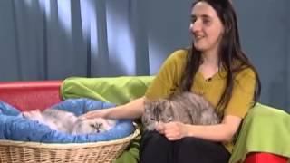Персидская кошка - Все О Породе