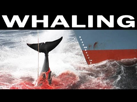Whale Hunting and Its Future | 1970 Documentary on Whales and Whaling Industry