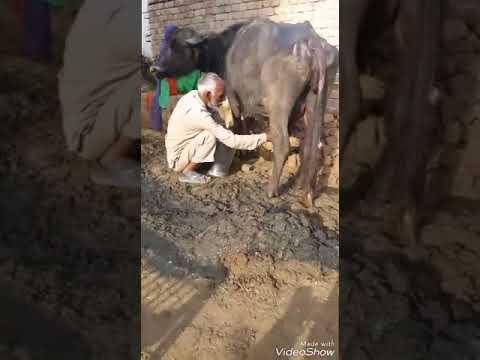 Kohli Dhar de de(Desi daggl video.com)