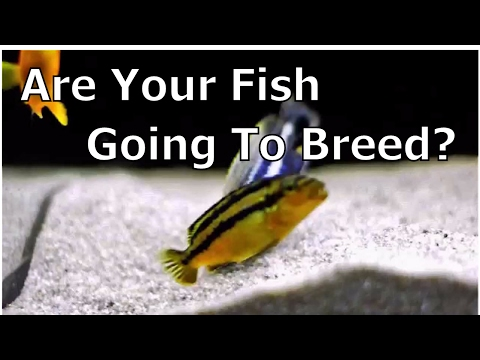 How To Tell If Your Cichlids Will Start Breeding