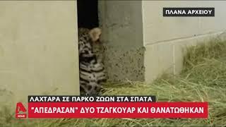 Αττικό Ζωολογικό Πάρκο: Σκότωσαν δύο τζάγκουαρ που δραπέτευσαν ενώ ήταν ανοιχτό για το κοινό