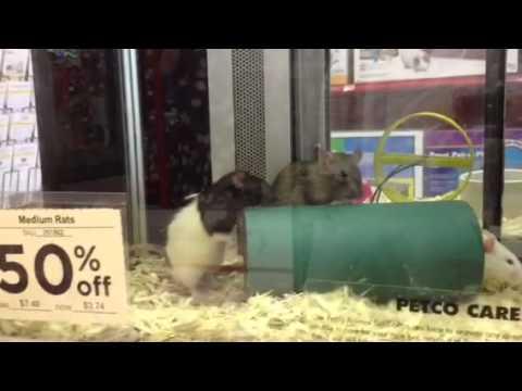 Fighting mice