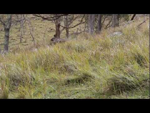 Fox Hunting - Up Close Pest  Eradication.