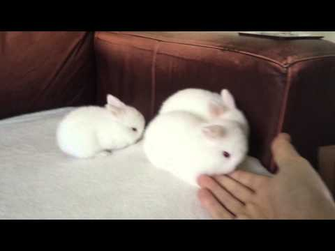 Baby Bunny Rabbits Red Eyed White Lop Eared bunnie