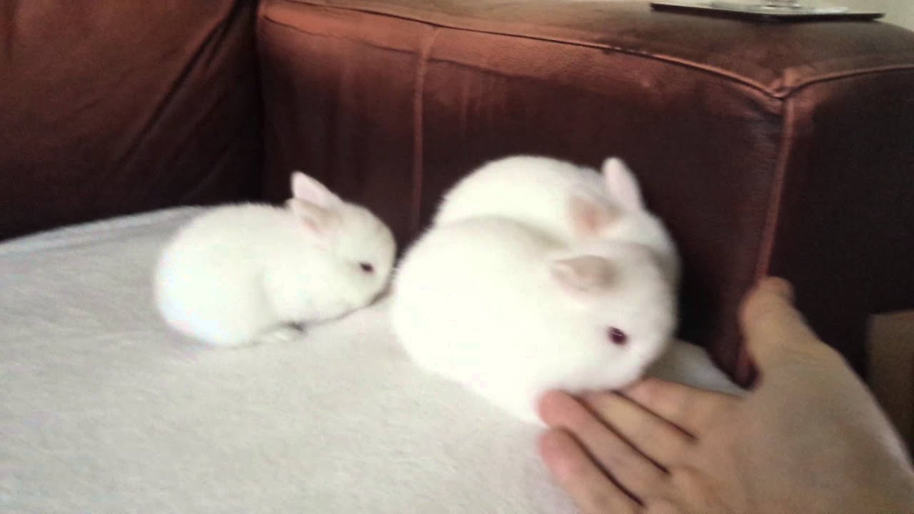 baby bunny rabbits red eyed white lop eared bunnie youtube