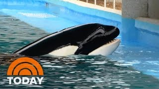 Last Killer Whale Born In Captivity: Behind The Scenes At SeaWorld (Exclusive) | TODAY
