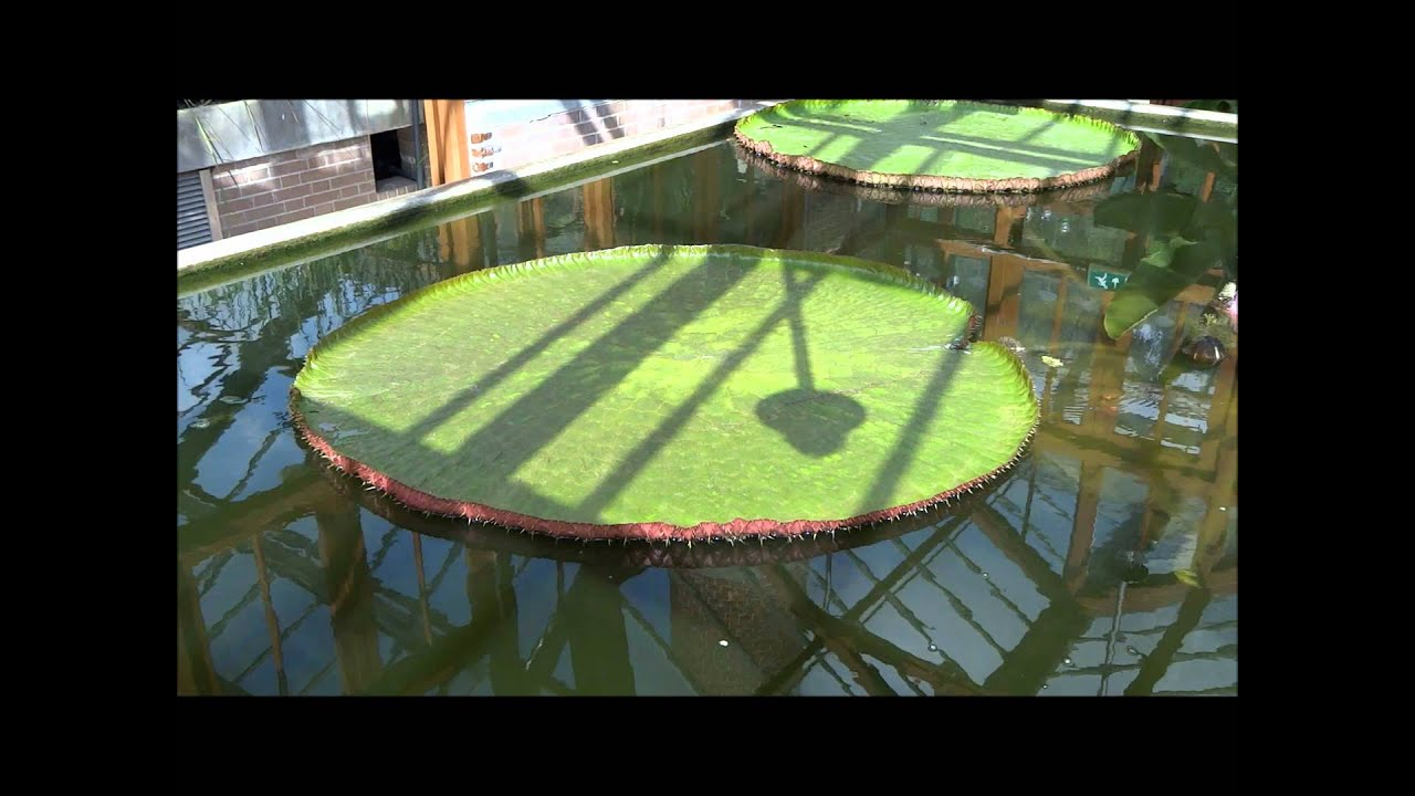 Largest Water Lily In The World Youtube