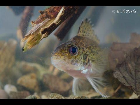 Ruffe (Gymnocephalus cernua) Underwater UK