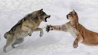 Wolf vs Puma - Wer Würde einen Kampf Gewinnen?