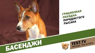 TEST.TV: Басенджи собака которая не лает.