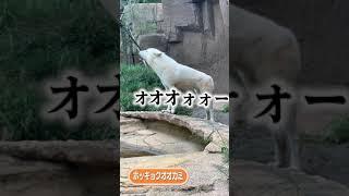 オオカミたちのユニゾン #Shorts #遠吠え