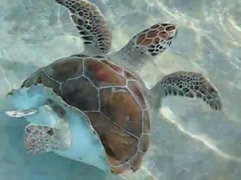 vagina turtle , amazing ! - YouTube
