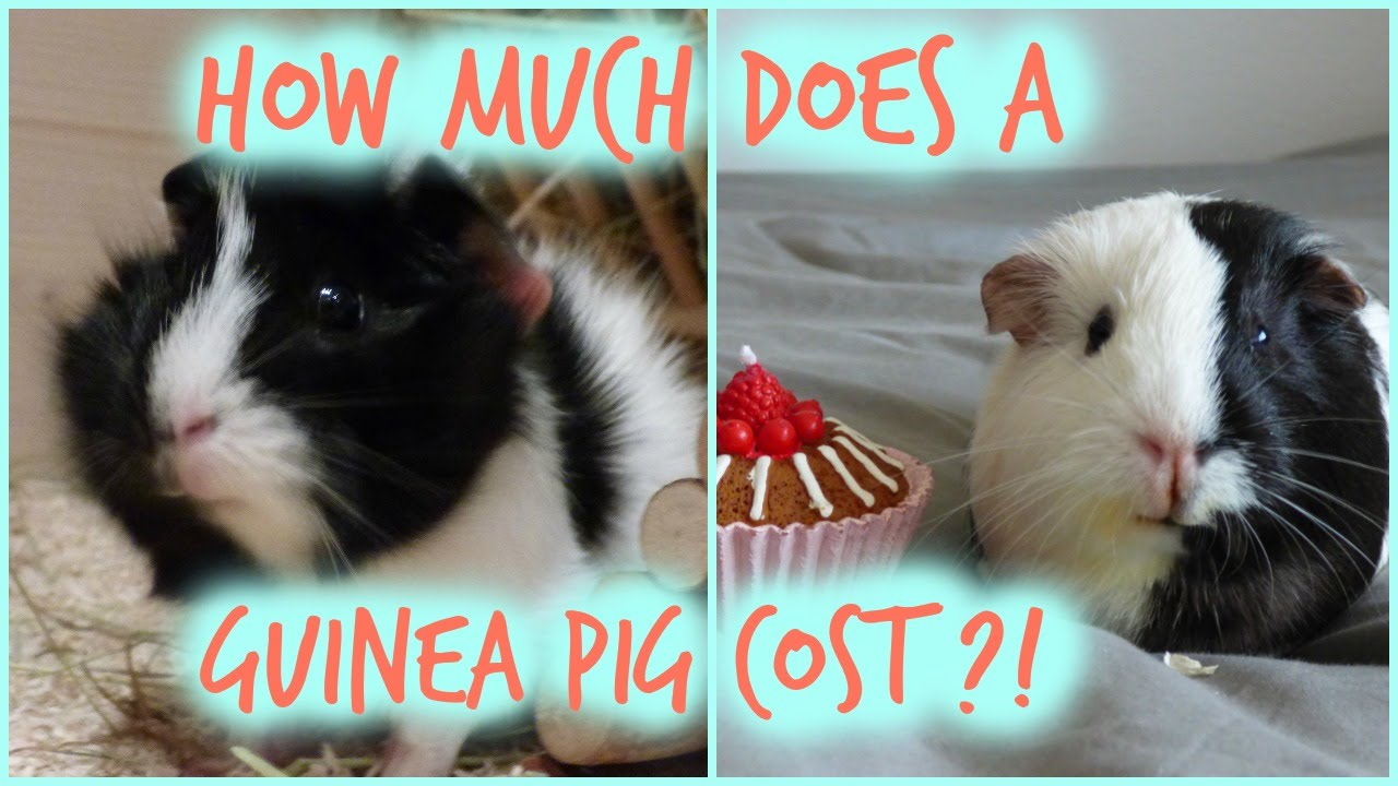 how much does a guinea pig cost monthly initial costs