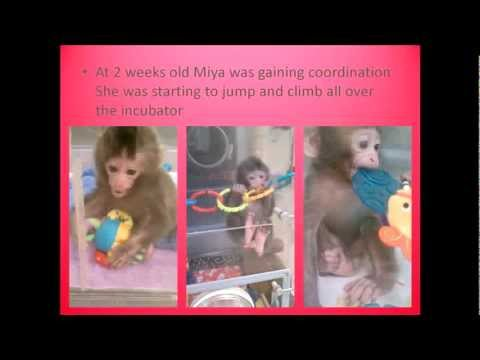 Hand-raising a Baby Macaque