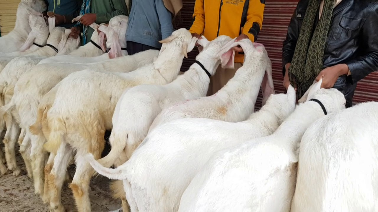 Download Sunder Bakre rajanpur e Gulabi  Rashid goat farm Dera Ghazi Khanfor sale Bakre