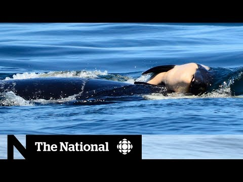 Endangered orca keeping dead calf afloat