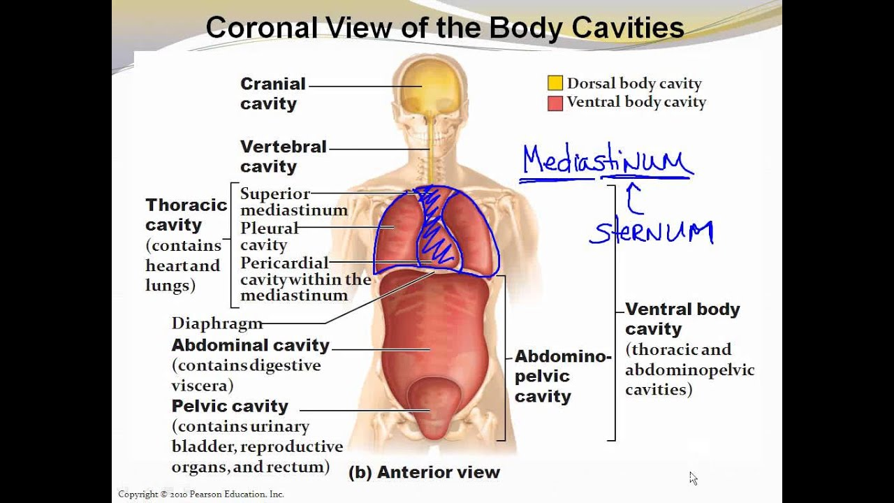 1_6 Body Cavities and Membranes - YouTube