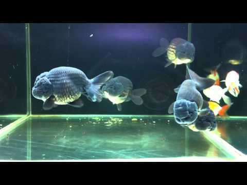 JUMBO JET BLACK RANCHU GOLDFISH FOR SALE AT SYDNEY DISCUS WORLD AQUARIUMS