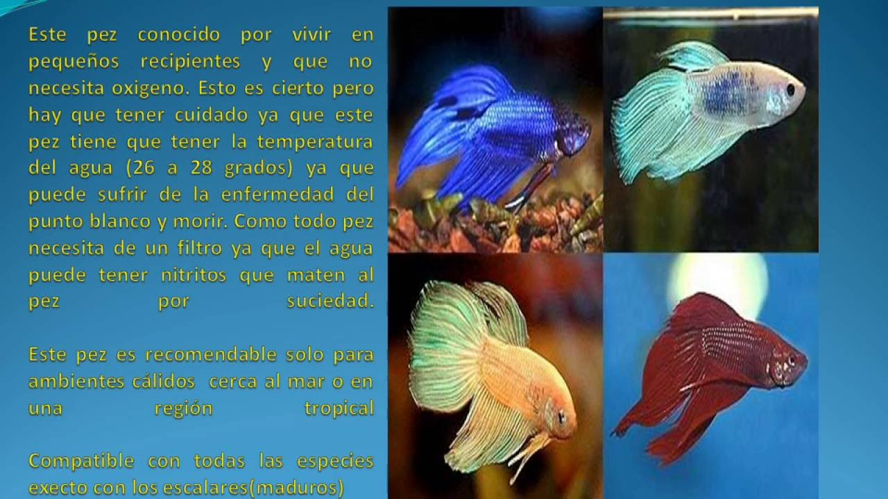 Peces para principiantes youtube for Peces que no necesitan oxigeno